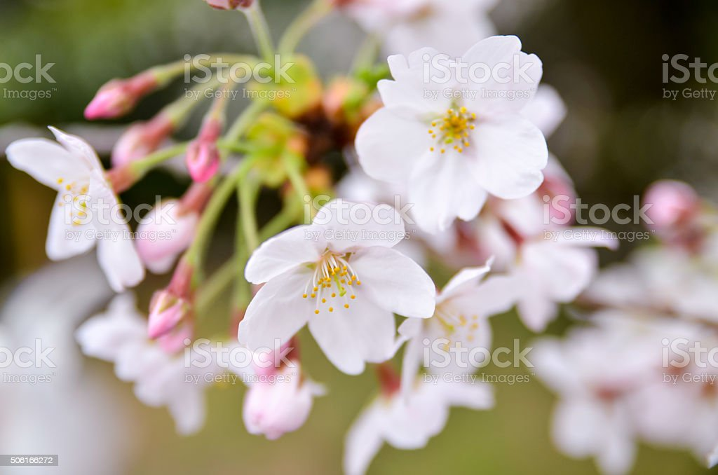 Buds and petals of cherry blossoms stock photo