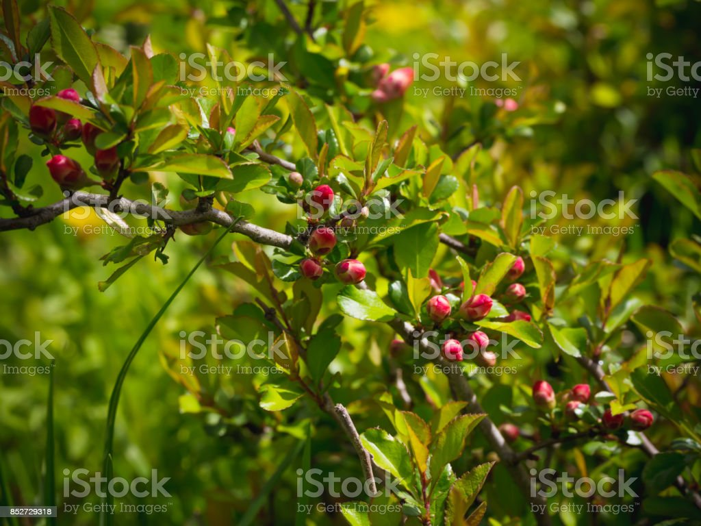 Buds of a flowering Japanese quince in the garden. Summer background. Spring. Flowering branch stock photo