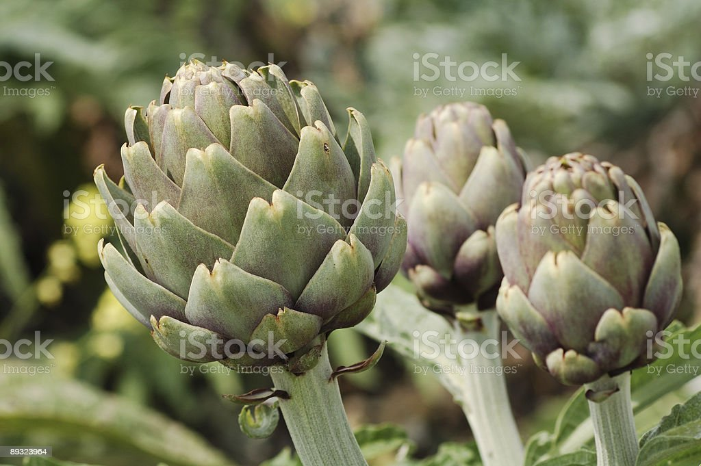 Buds of an artichoke royalty-free stock photo
