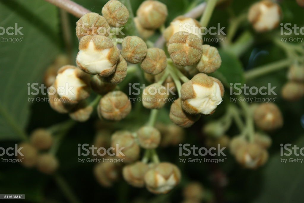 Buds of mimi kiwi Actinidia arguta in spring stock photo