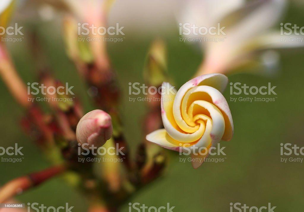 Buds of Plumeria obtusa royalty-free stock photo