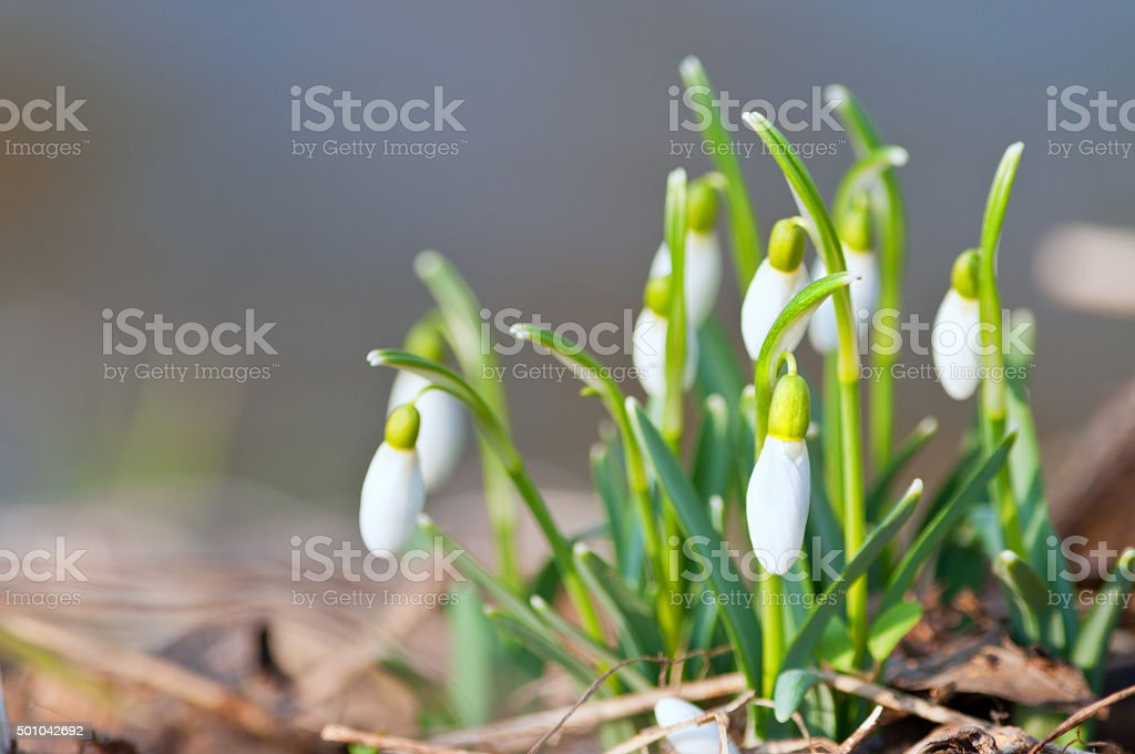 buds of snowdrop in spring light stock photo