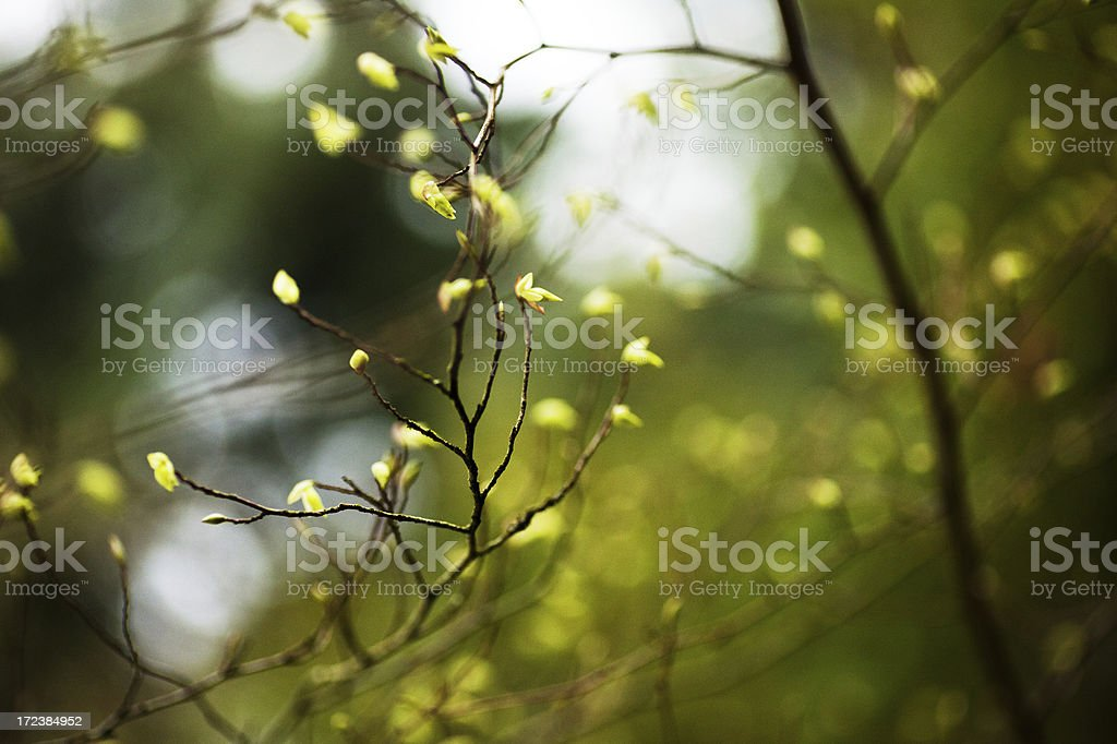 Buds on a branch royalty-free stock photo