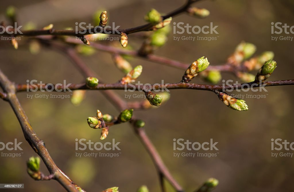 Buds on a Tree royalty-free stock photo