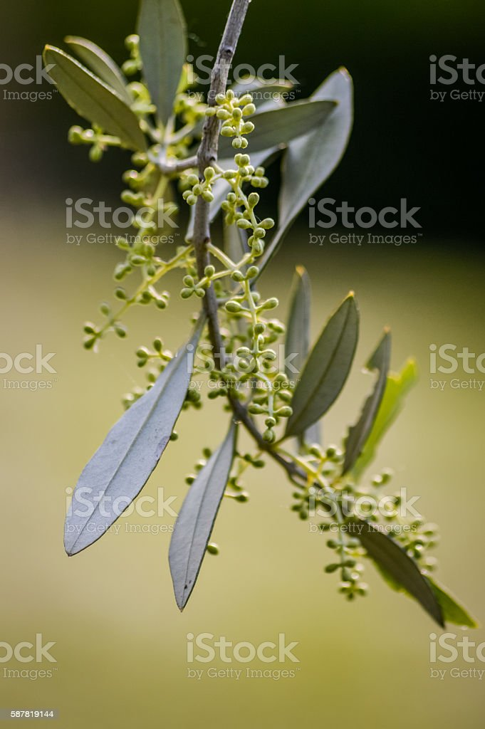 buds on olive tree branch macro stock photo