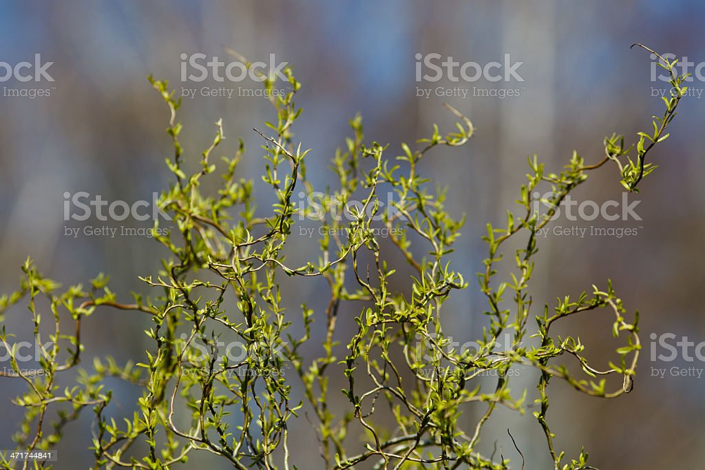 Buds on the tree royalty-free stock photo