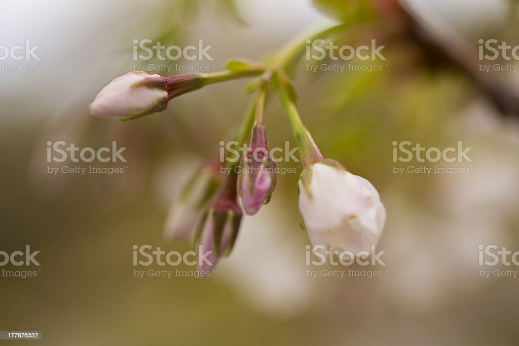 Buds royalty-free stock photo