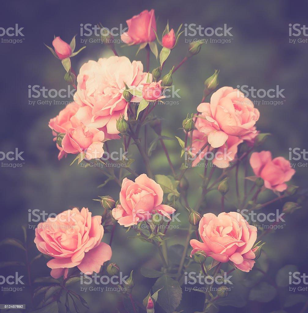 buds pink shrub roses stock photo