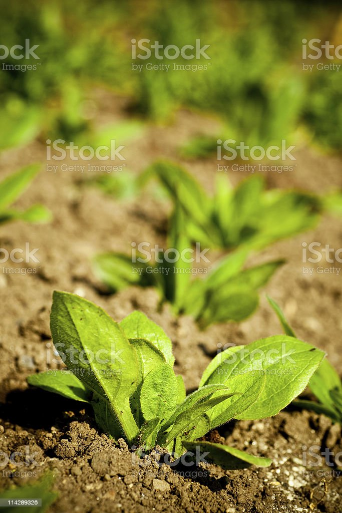 Buds, small plants in row stock photo