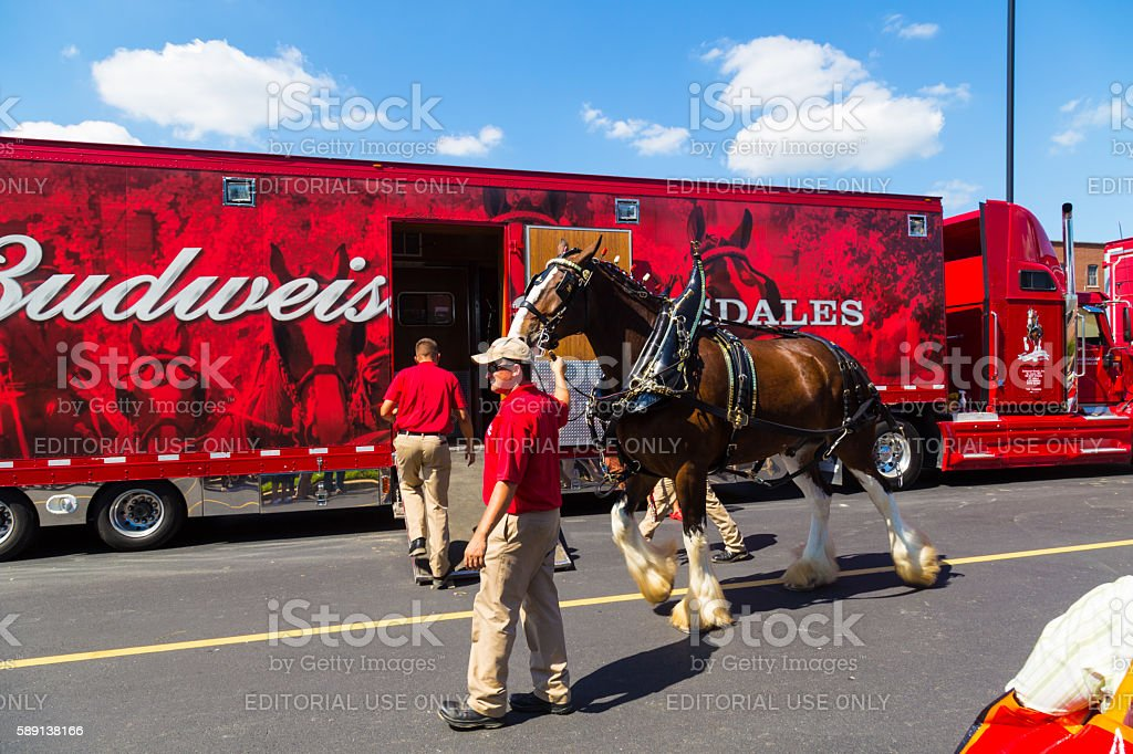 Budweiser Clydesdale Horse Preparing for Hitching stock photo