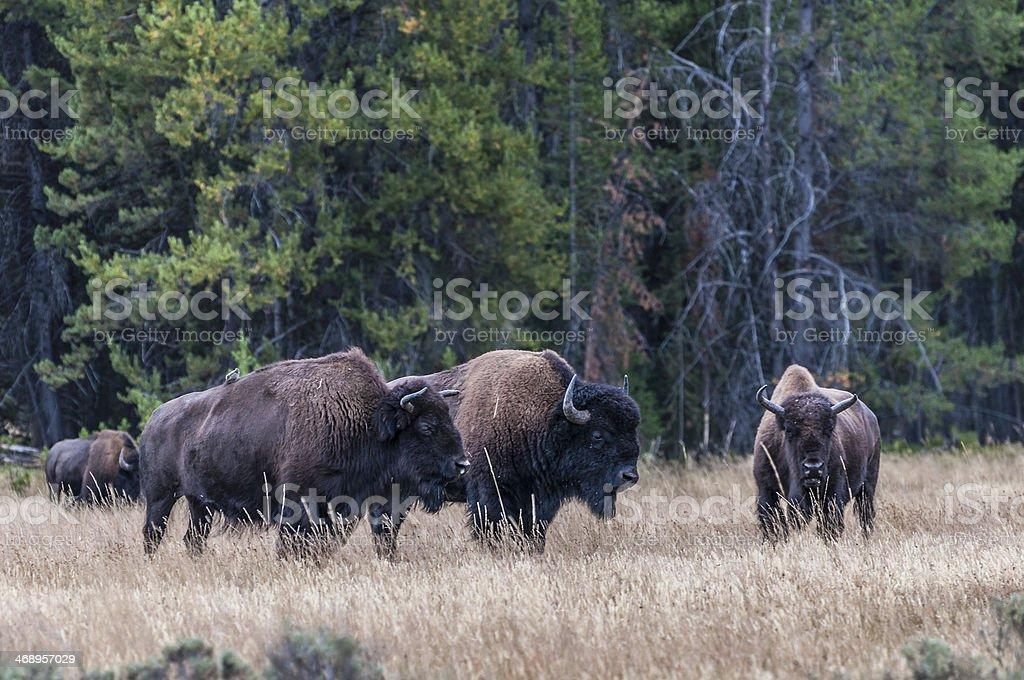 Bufalo's Herd stock photo