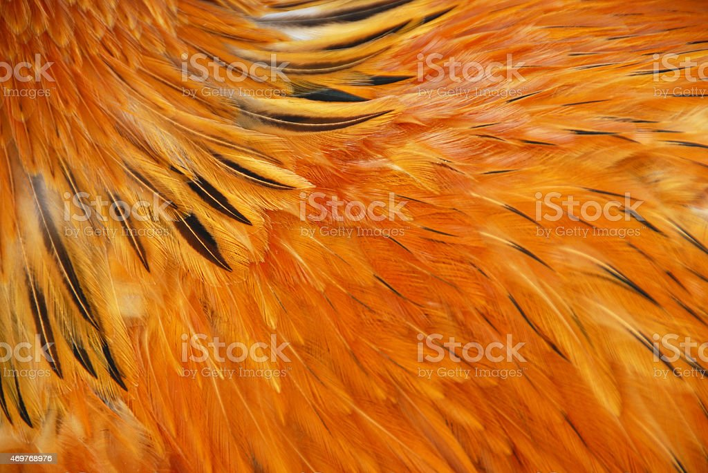 Buff Brahma feathers in full frame composition stock photo