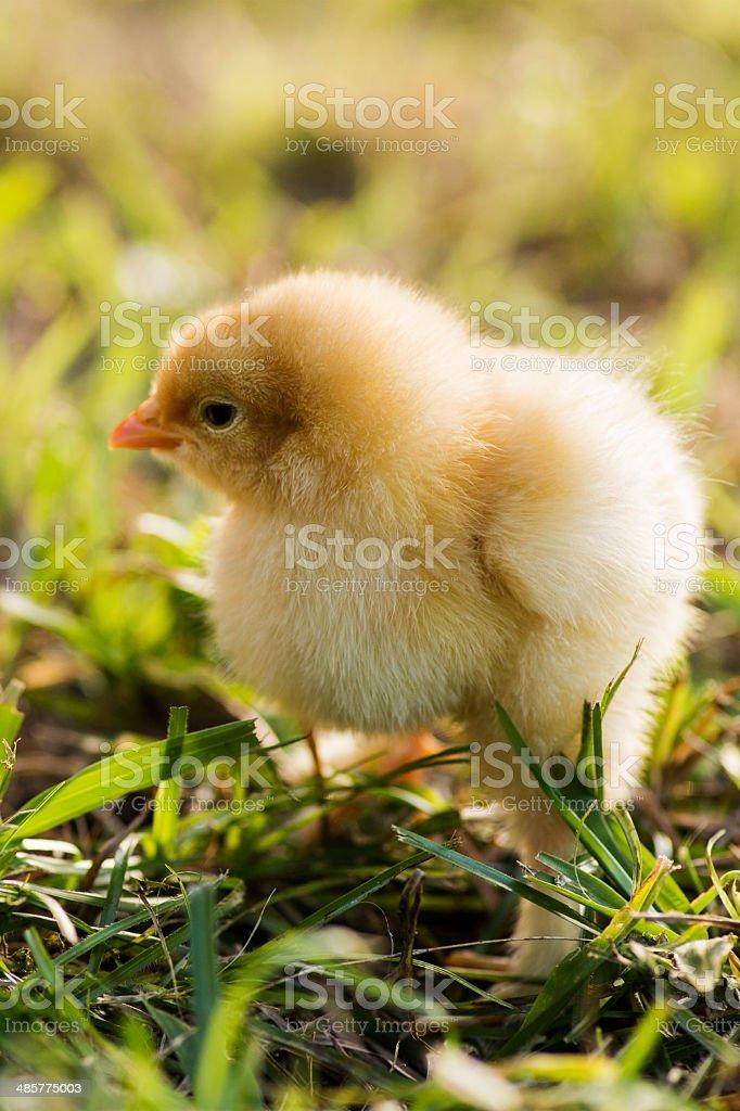 Buff cochin bantam chicks royalty-free stock photo