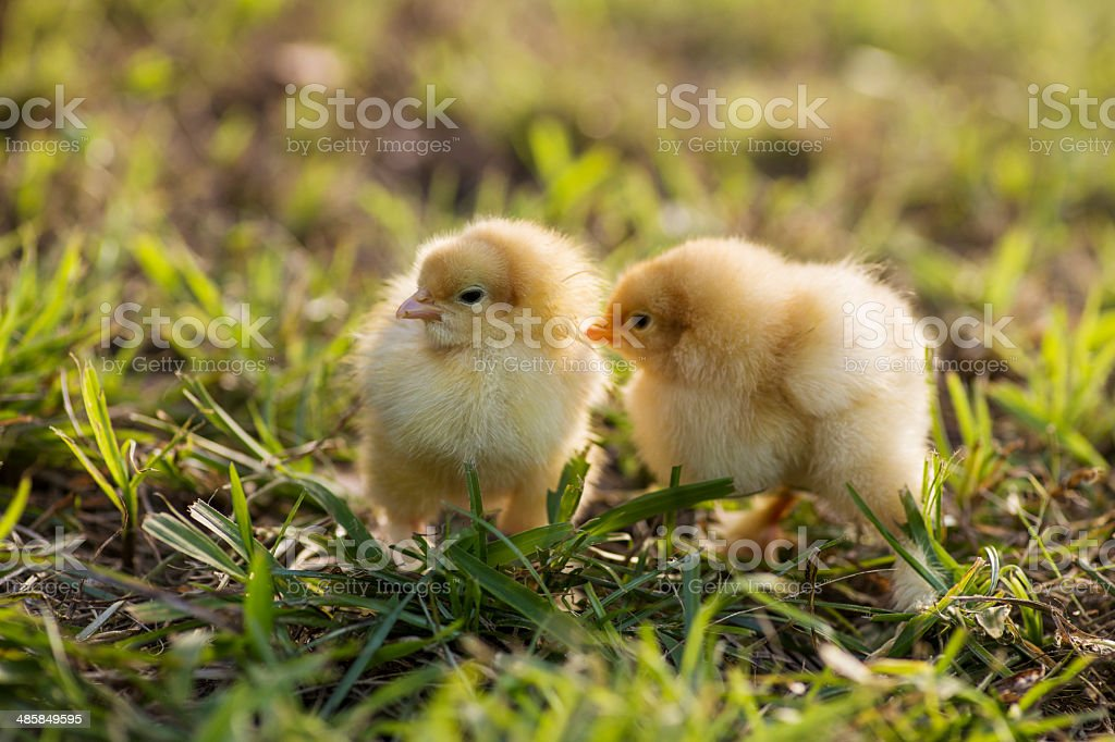 Buff cochin bantam chicks royalty-free stock photo