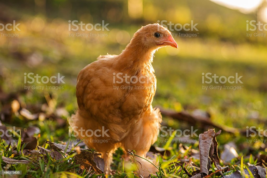 Buff cochin hen royalty-free stock photo
