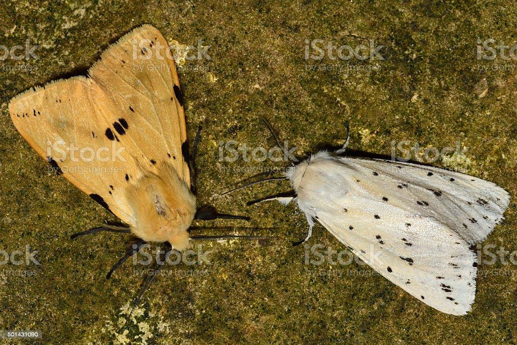 Buff ermine (Spilosoma luteum) and white ermine (Spilosoma lubricipeda) stock photo