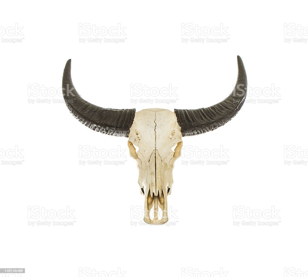 Buffallo Bulls royalty-free stock photo