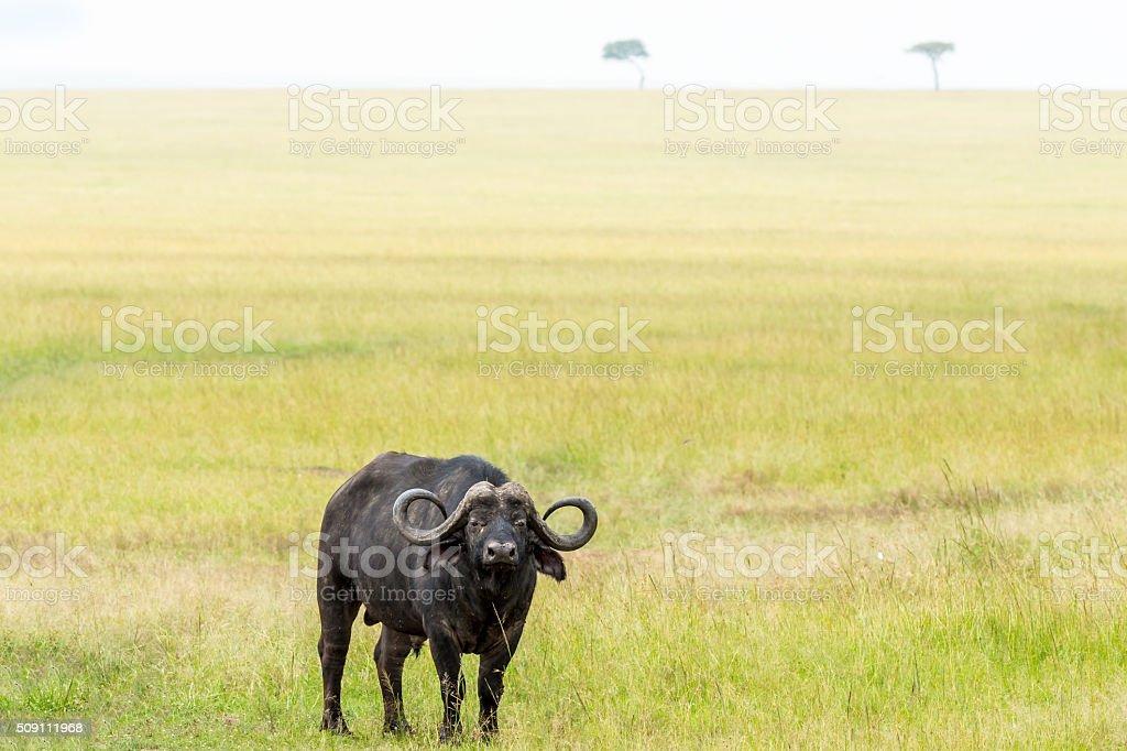 Buffalo and Acacias stock photo