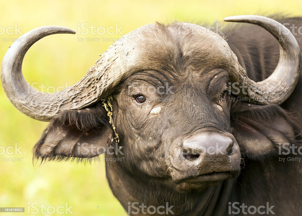 Buffalo and earring from green royalty-free stock photo