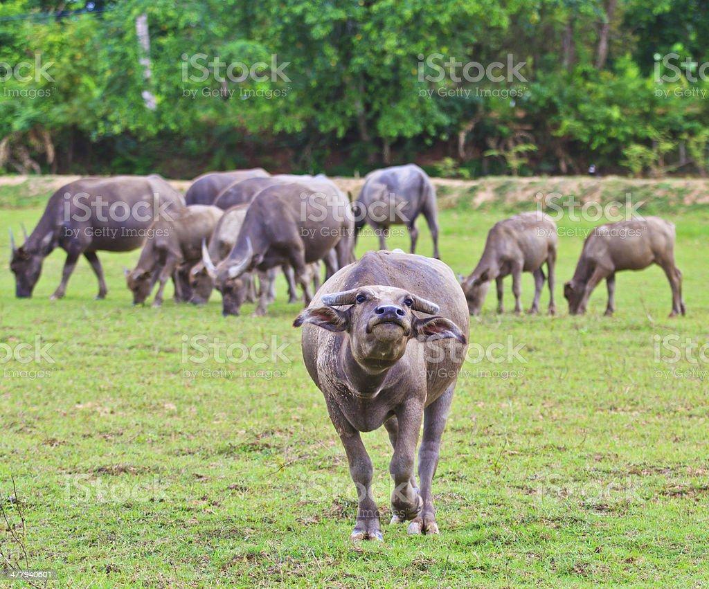 Buffalo Asia Thailand stock photo
