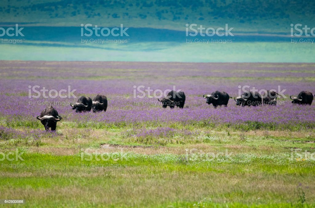Buffalo at ngorongoro Crater, tanzania, Africa stock photo