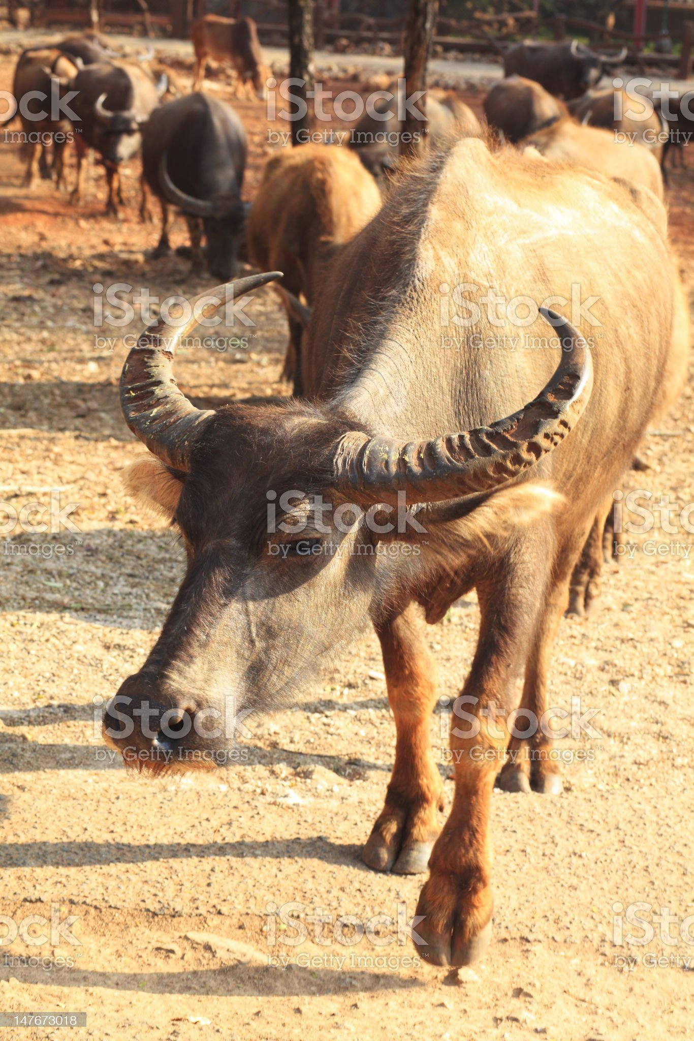 Buffalo at Tiger Temple, Kanchanaburi, Thailand royalty-free stock photo