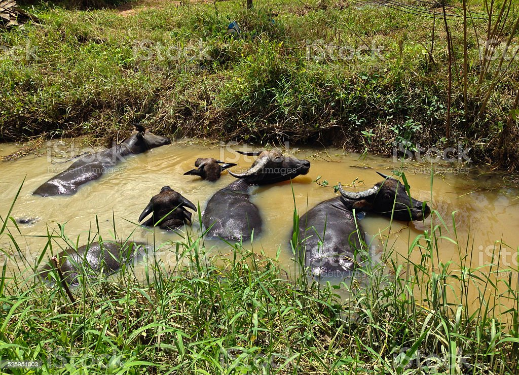 Buffalo Kąpiel w wodzie Kanał zbiór zdjęć royalty-free