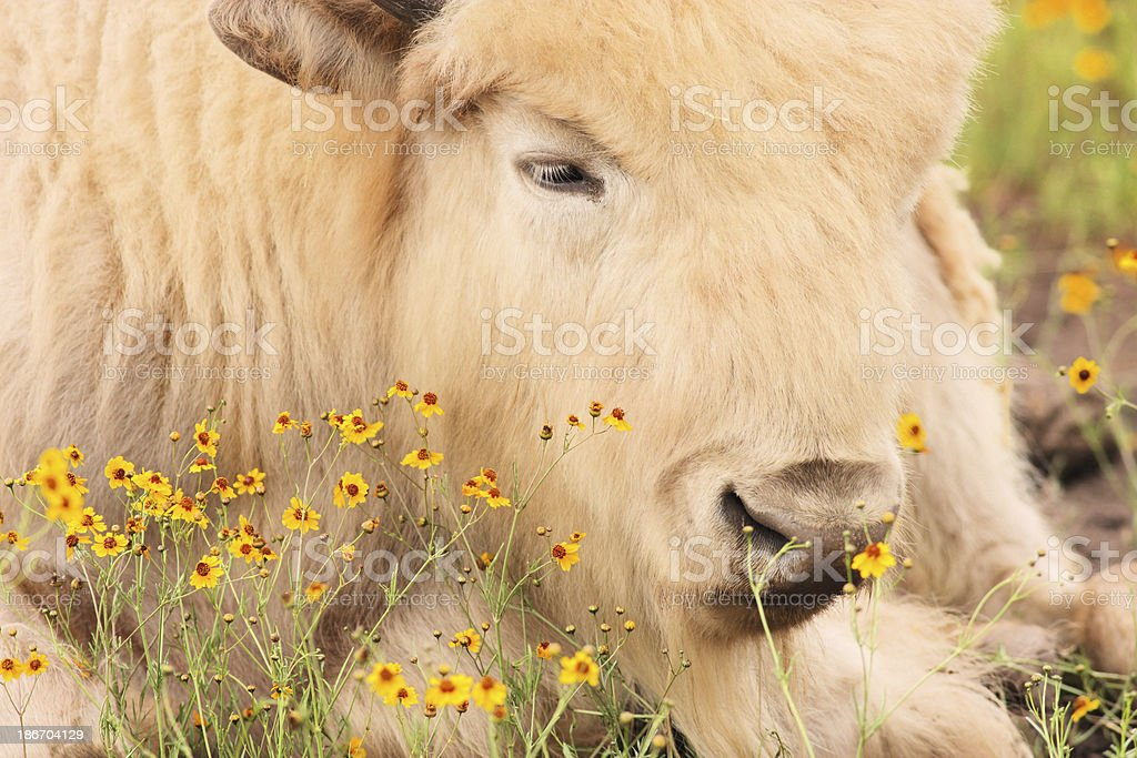 Buffalo Bison Beefalo Crossbred Cattle royalty-free stock photo