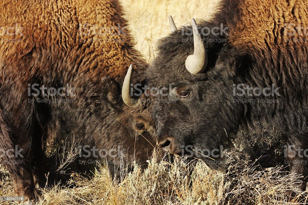 Buffalo Bison Bulls Rutting Charging Mating stock photo