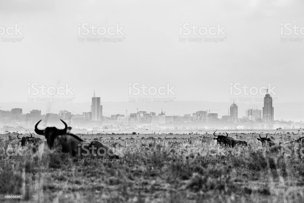 buffalo bull laying in front of the skyline of Nairobi royalty-free stock photo