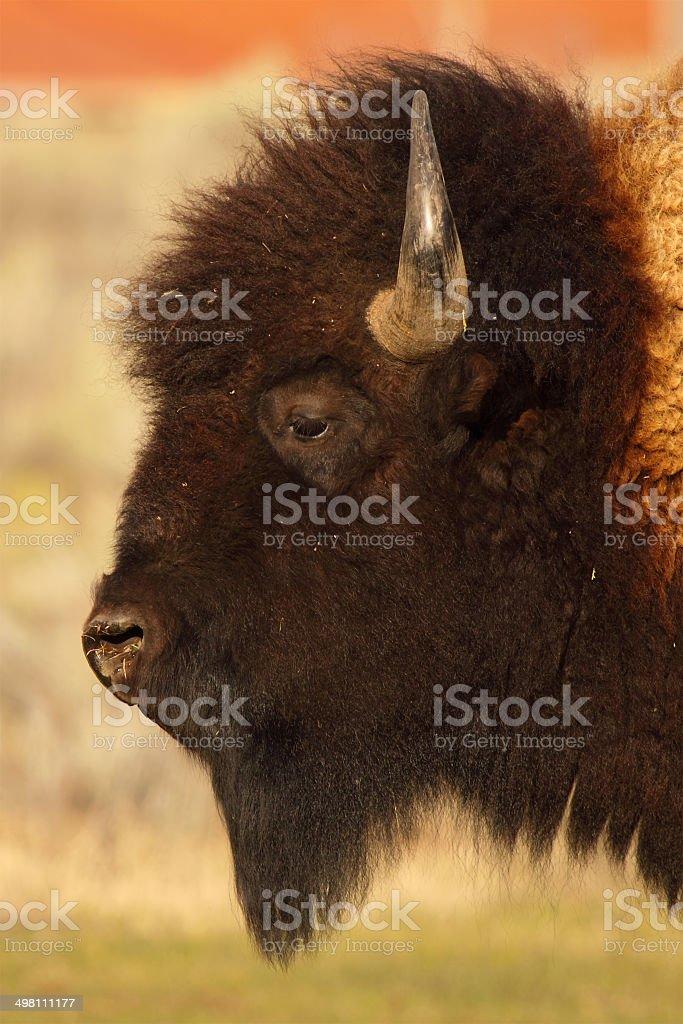 Buffalo Bull Profile stock photo