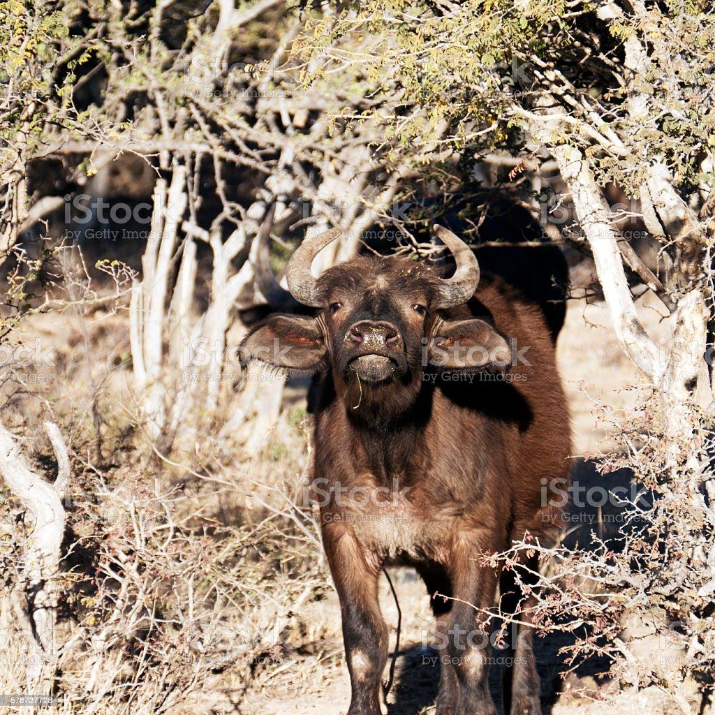 Buffalo calf looking at camera,Waterberg,Limpopo,South Africa stock photo