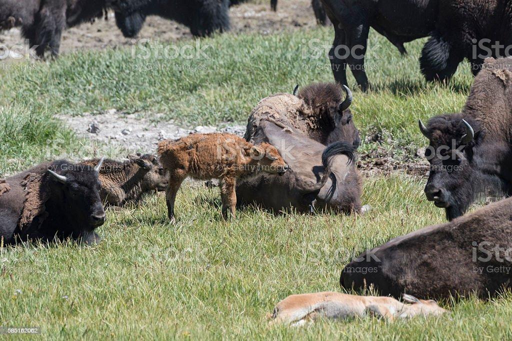 Buffalo Calf stock photo