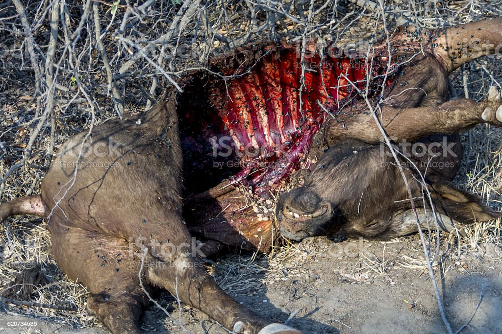 Buffalo carcass in Greater Kruger National Park, South Africa stock photo