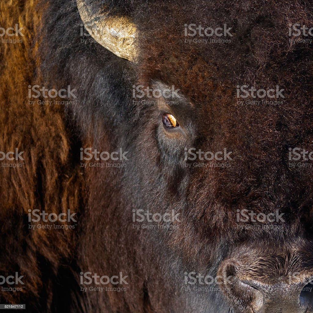 Buffalo Close Up stock photo