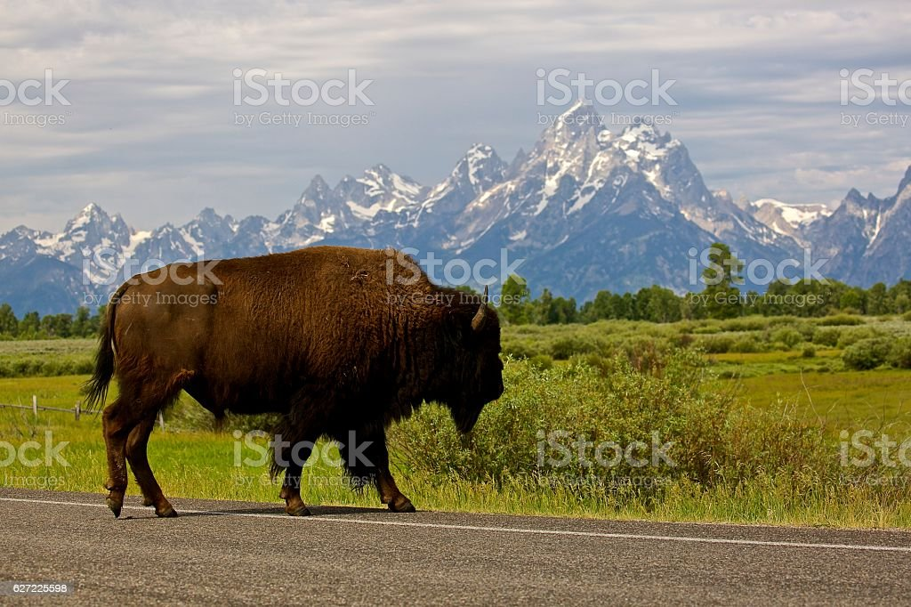 Buffalo Crossing stock photo