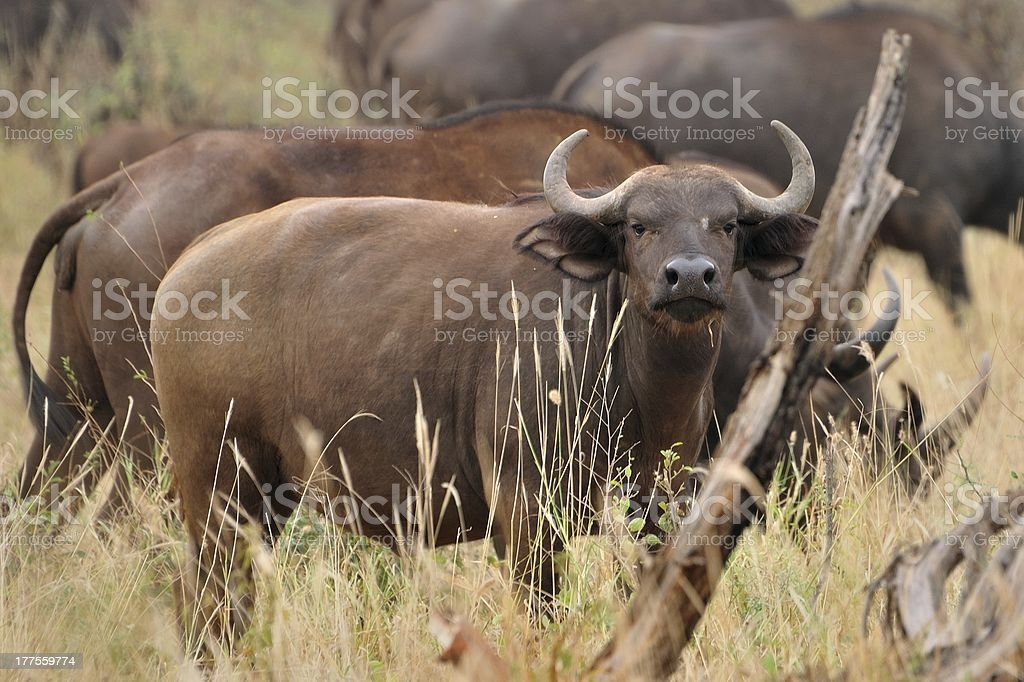 buffalo detail stock photo