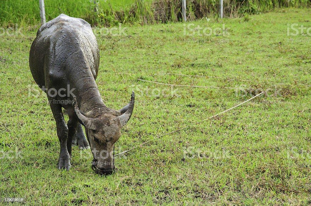 Buffalo eating grass on a meadow stock photo