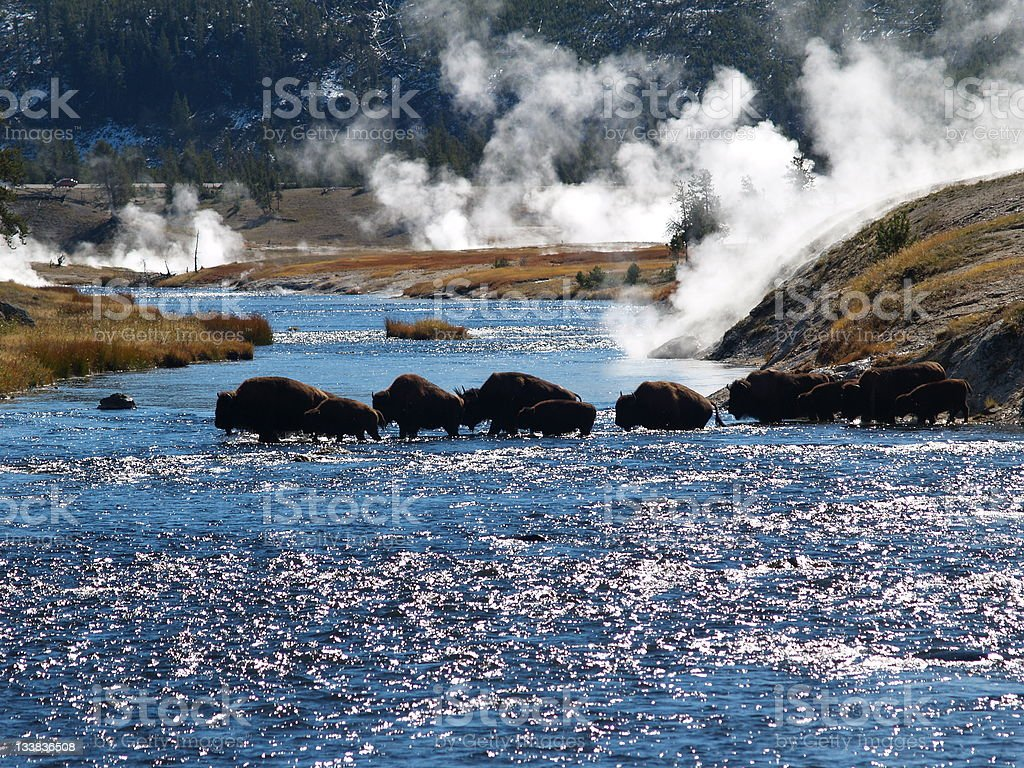 Buffalo (Bison) Fording a Yellowstone Park River as Steam Rises stock photo