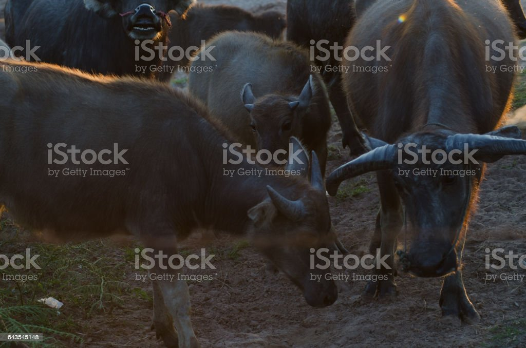 Buffalo grass was living morningSun gold on the farm happily. stock photo
