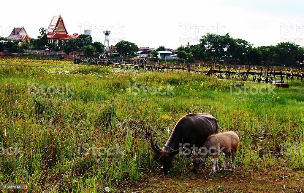 Buffalo graze stock photo