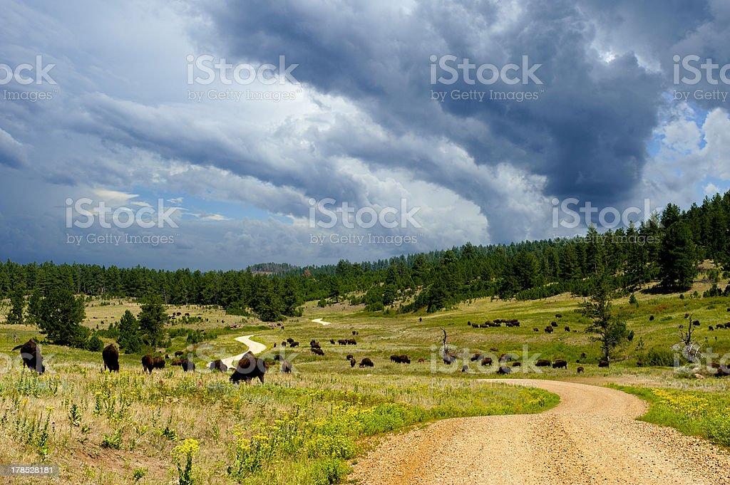 Buffalo Grazing Along a Dirt Road royalty-free stock photo