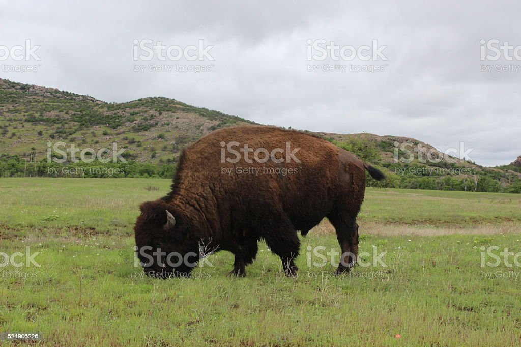 Buffalo grazing in Wichits Wildlife Refuge stock photo