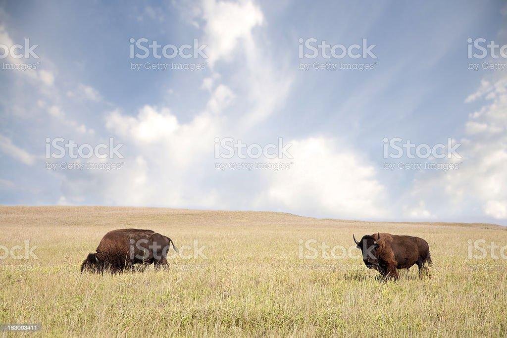 Buffalo Grazing on the Plains stock photo