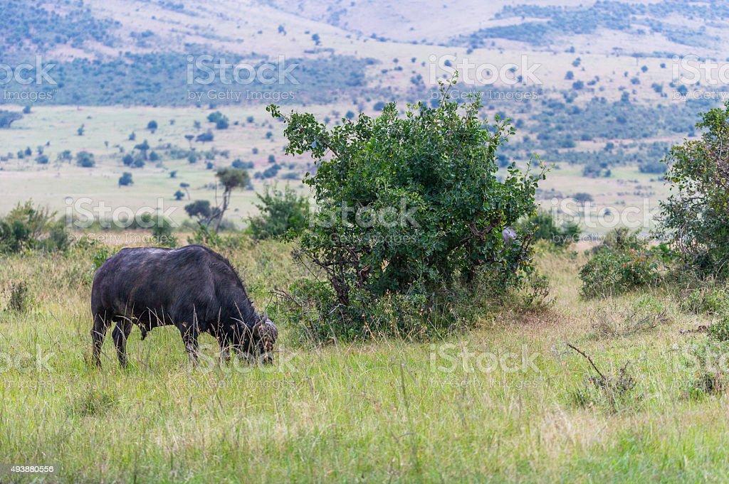 Büffel am Grasen stock photo