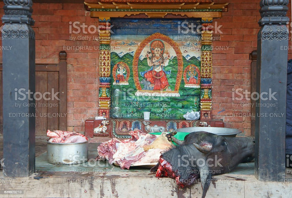 buffalo head as sacrifice for goddess Durga stock photo