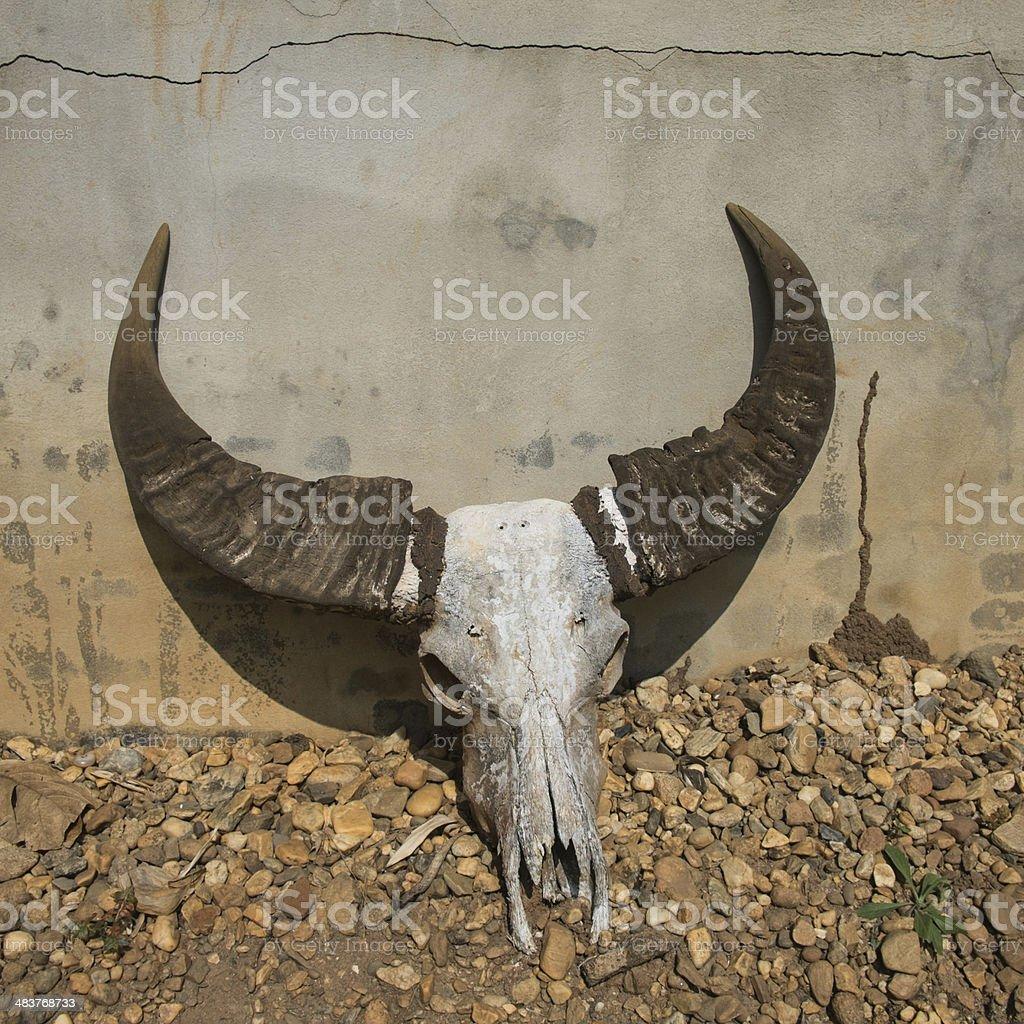 Buffalo head skull lay on the ground. stock photo