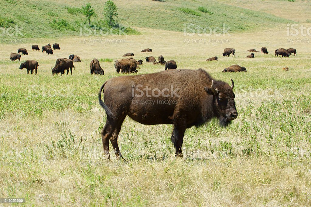 Buffalo herd at Custer State Park stock photo