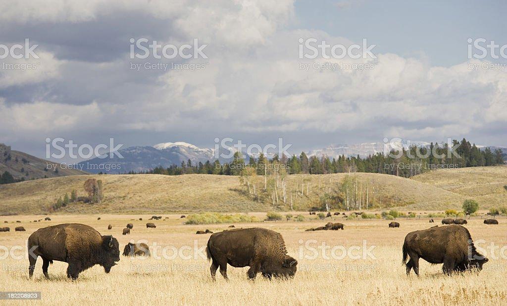 Buffalo Herd Grazing stock photo