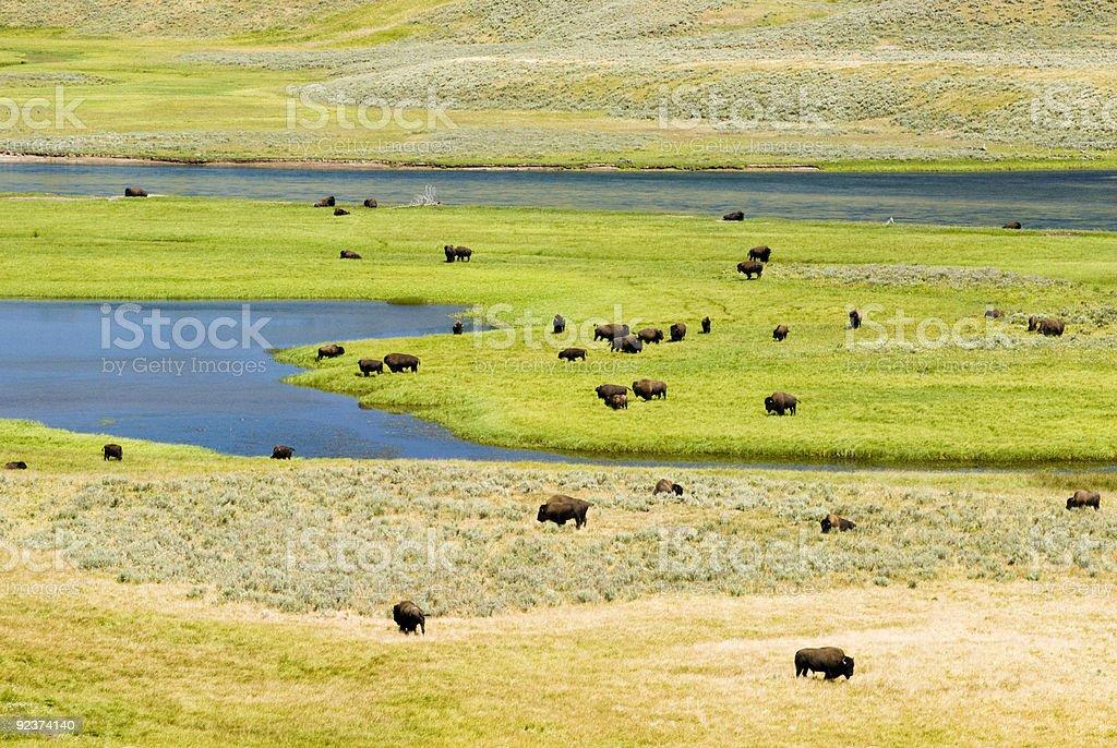 Buffalo Herd in Hayden Valley stock photo